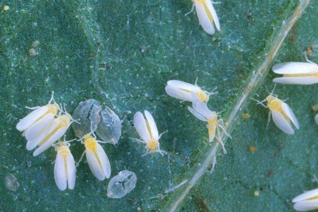Whiteflies in the urban garden