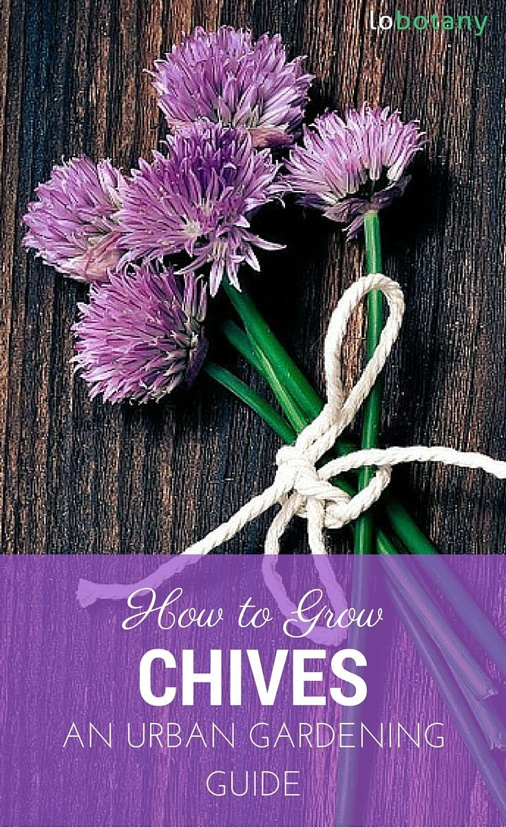 How To Grow Chives In Containers Small Space Gardening