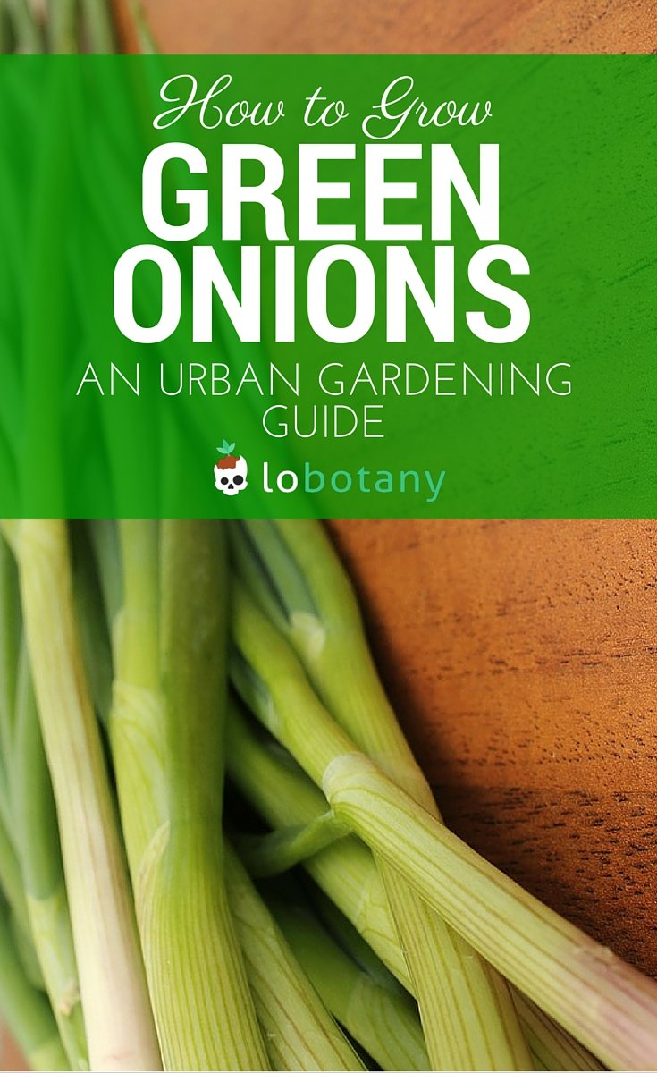 How To Grow Green Onions In Containers