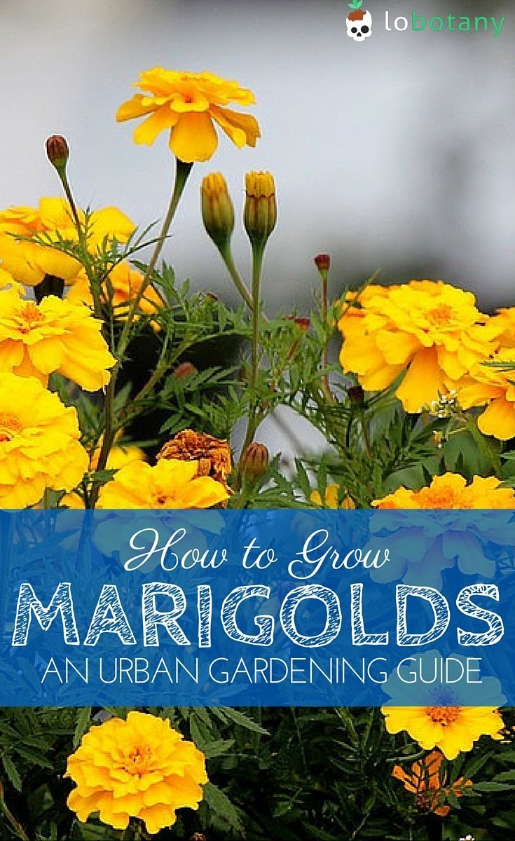 How To Grow Marigolds In Containers