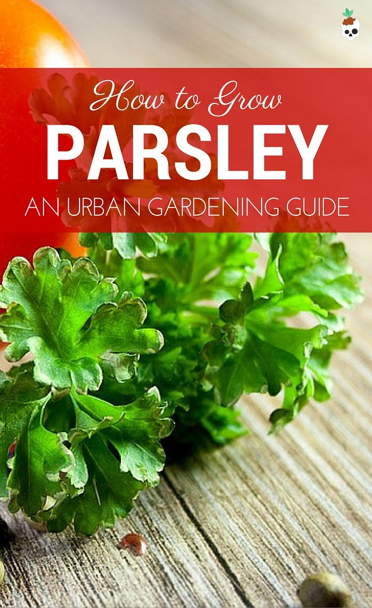 How To Grow Parsley In Containers Small Spaces