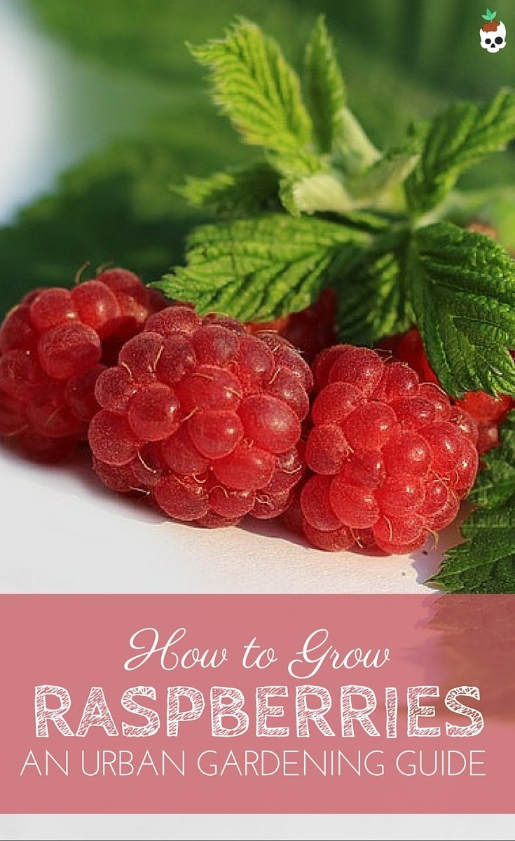Growing Raspberries In Containers On Your Balcony Or Patio