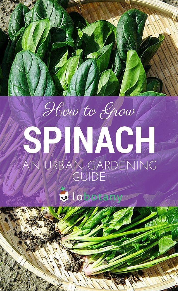 How To Grow Spinach In Containers