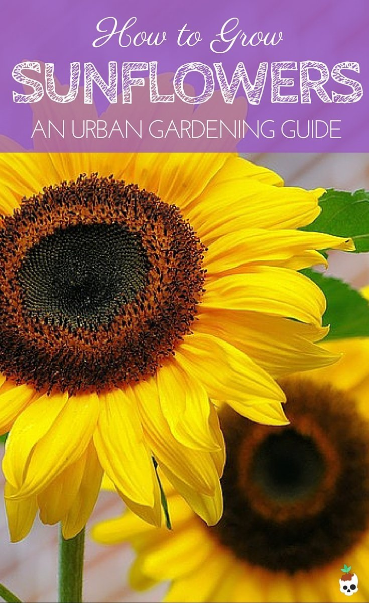 Everything You Need To Know About Growing Sunflowers In Pots. Whether You've Got A Tiny Balcony, Patio, Or Back Yard, You Can Still Grow Your Own Beautiful Sunflowers! Planting Instructions, What Pot Size To Use, Care Tips, And What Varieties To Use For Small Balcony Or Patio Gardens.
