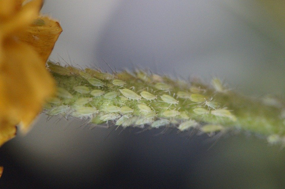 Aphids in the urban garden