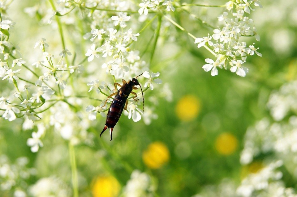 Earwigs in the urban garden
