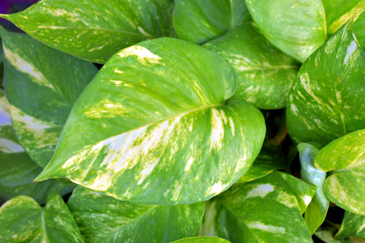 golden pothos - 8 hard to kill plants you can grow in your apartment