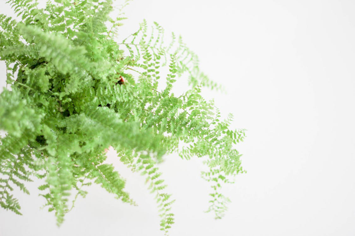 fern 8 hard to kill plants you can grow in your apartment