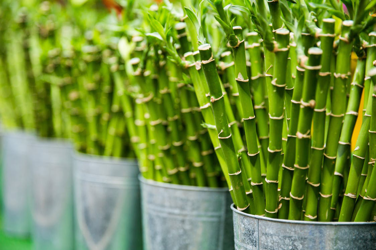 lucky bamboo - 8 hard to kill plants you can grow in your apartment