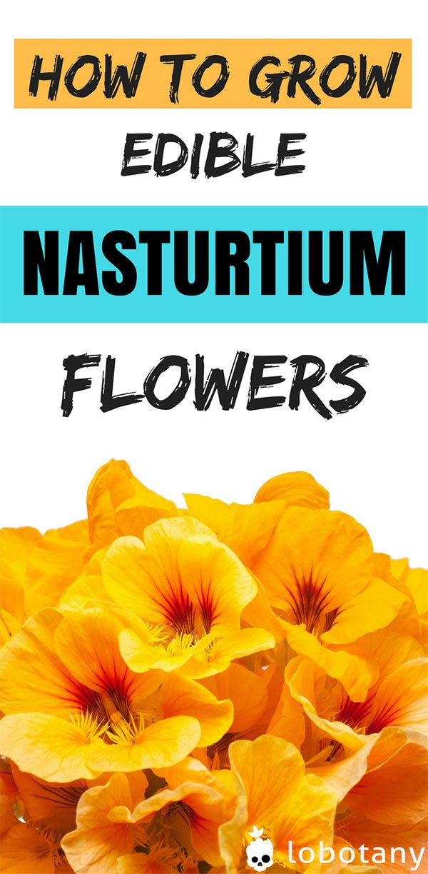 How To Grow Nasturtiums In Containers Small Spaces