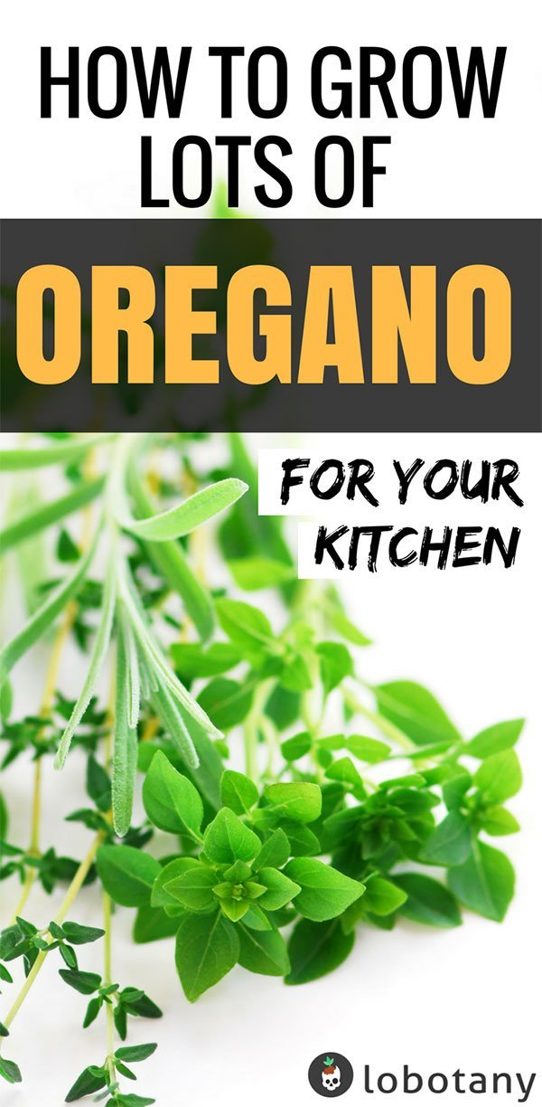 How To Grow Oregano In Containers | Container Gardening | Herb Garden | Urban Gardening | Gardening Ideas | Grow Herbs | #lobotany #containergardening #gardening