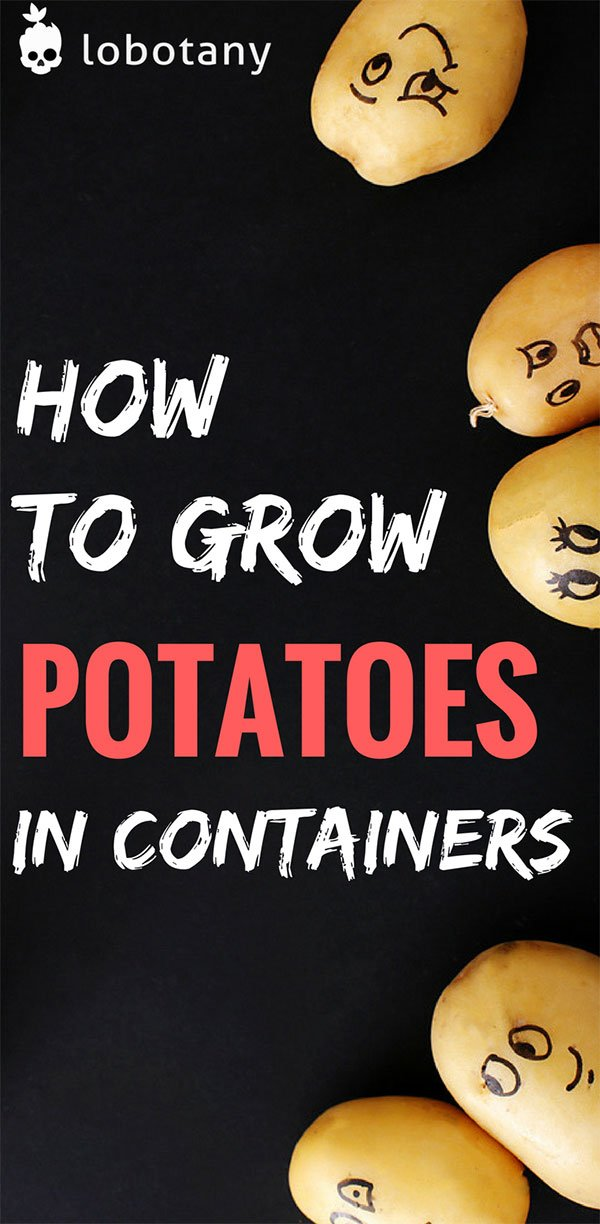 How To Grow Potatoes In Containers | Container Gardening | Grow Food On Your Balcony Garden | Urban Gardening | Gardening Ideas | Vegetable Garden | #lobotany #containergardening #gardening