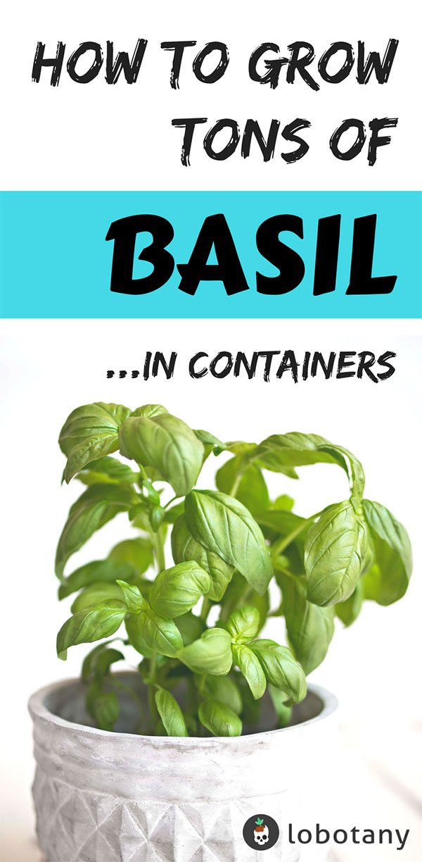 How To Grow Basil In Containers | Herb Garden | Grow Basil In Your Apartment