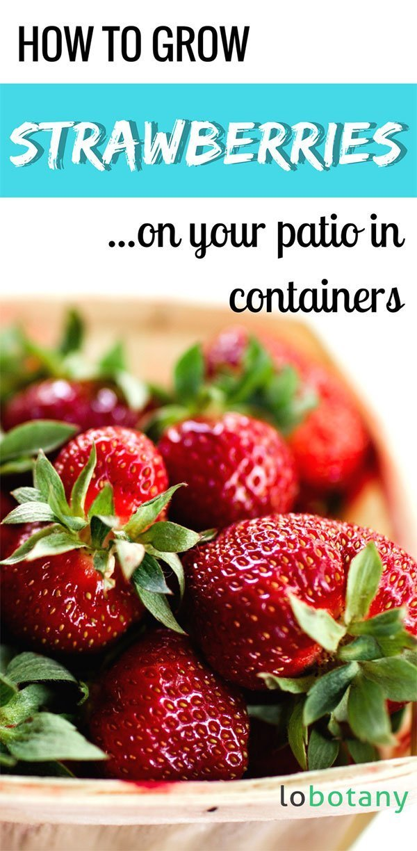 How To Grow Strawberries | Strawberry Gardening | Grow Food In Containers | Balcony Garden | Urban Garden | #lobotany #gardening #urbangardening