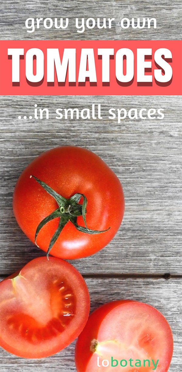 How To Grow Tomatoes | Tomato Gardening | Grow Food In Containers | Balcony Garden | Urban Garden | #lobotany #gardening #urbangardening