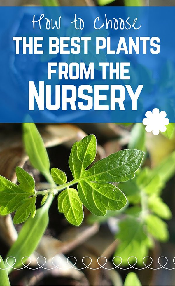 How To Choose The Best Plants From The Nursery | Container Gardening | Urban Gardening | Gardening Tips | #lobotany #garden #gardening