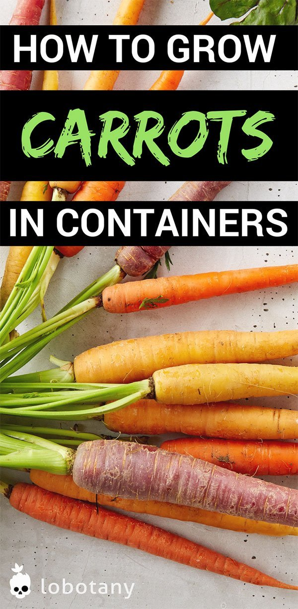 How To Grow Carrots In Containers | Container Gardening | Grow Food On Your Balcony Garden | Urban Gardening | Gardening Ideas | Vegetable Garden | #lobotany #containergardening #garden